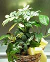 Green plant in a basket with a yellow sating ribbon